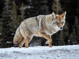 City issues warning after coyotes attack two Airdrie children | Calgary  Herald